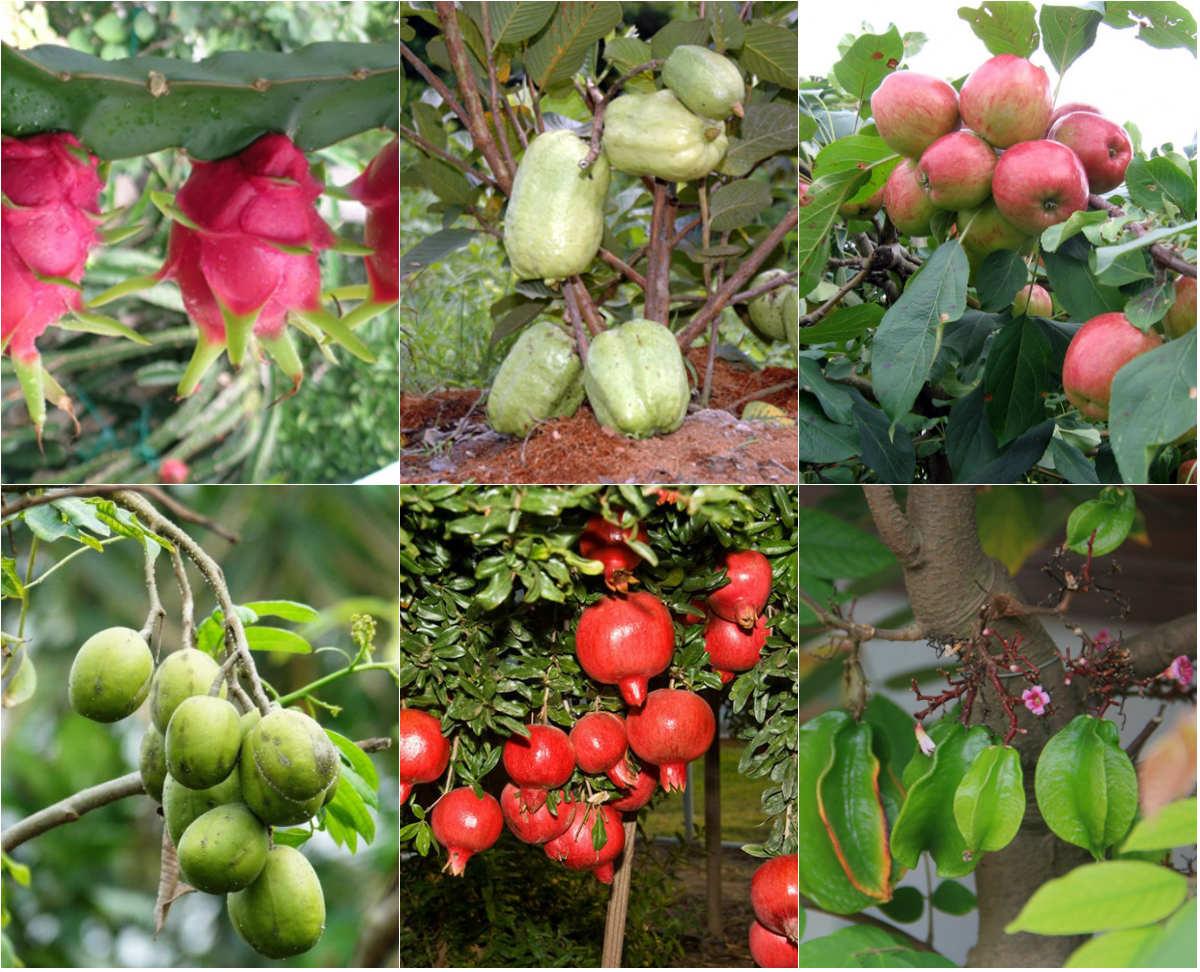 ky thuat trong cay an qua sai trai nang suat cao 1 - Kỹ thuật trồng cây ăn quả sai trái năng suất cao
