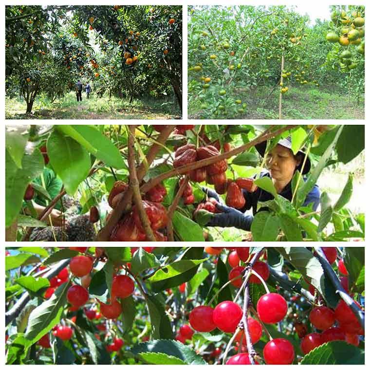 ky thuat trong cay an qua sai trai nang suat cao 2 - Kỹ thuật trồng cây ăn quả sai trái năng suất cao
