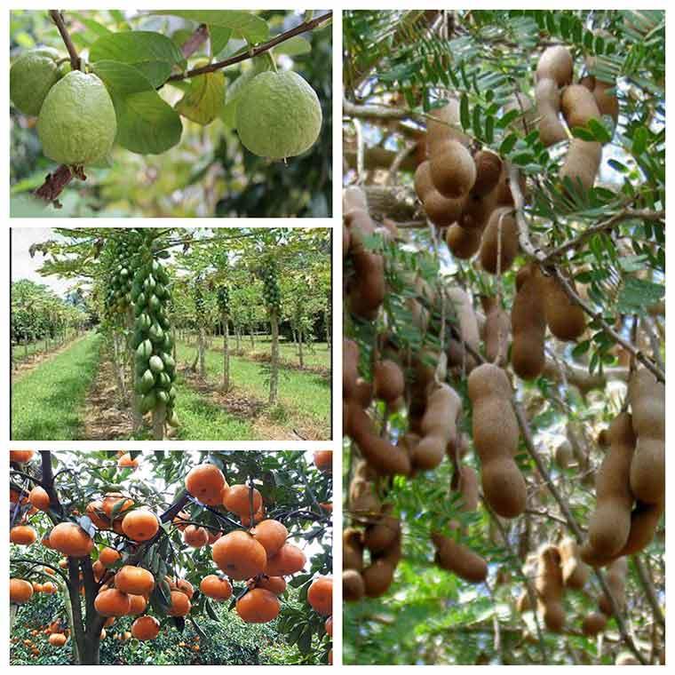 ky thuat trong cay an qua sai trai nang suat cao 3 - Kỹ thuật trồng cây ăn quả sai trái năng suất cao