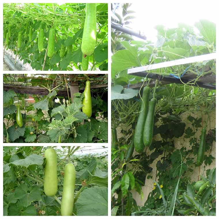 huong dan ky thuat trong bau cho nhieu qua nhat 1 - Hướng dẫn kỹ thuật trồng bầu cho nhiều quả nhất