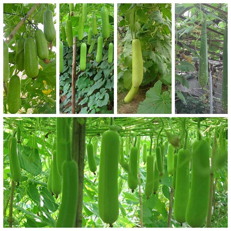 huong dan ky thuat trong bau cho nhieu qua nhat 2 - Hướng dẫn kỹ thuật trồng bầu cho nhiều quả nhất
