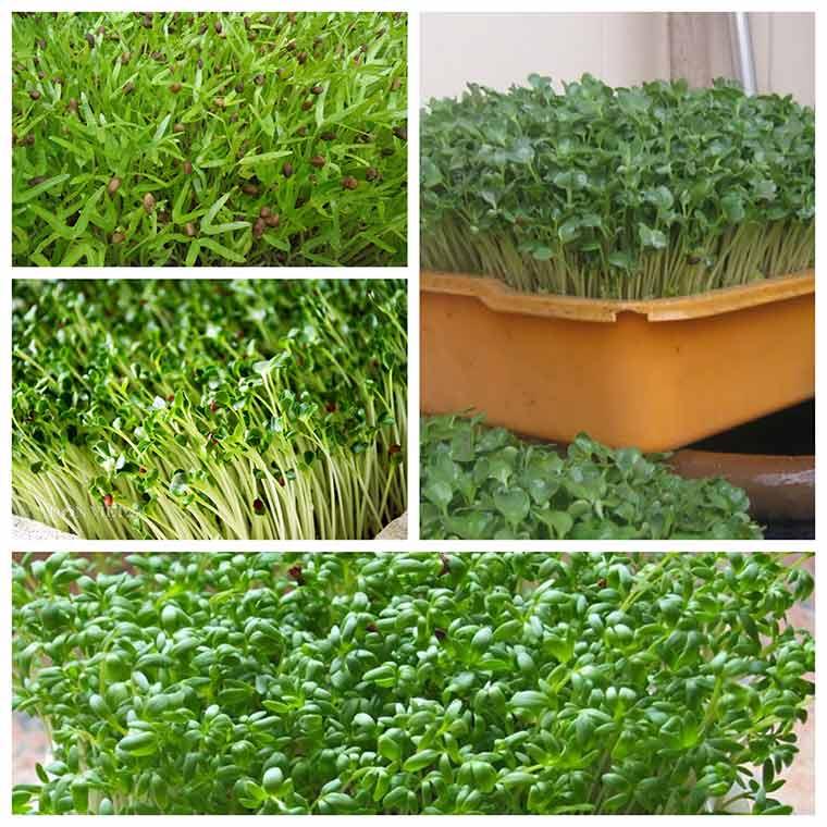huong dan ky thuat trong rau mam khong can dat 1 - Hướng dẫn kỹ thuật trồng rau mầm không cần đất