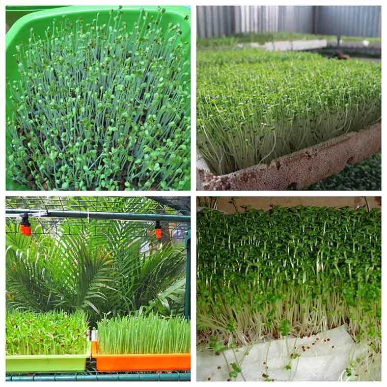huong dan ky thuat trong rau mam khong can dat 2 - Hướng dẫn kỹ thuật trồng rau mầm không cần đất