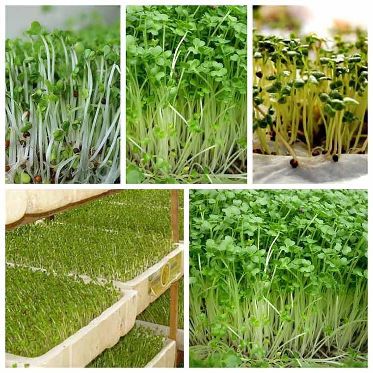 huong dan ky thuat trong rau mam khong can dat 3 - Hướng dẫn kỹ thuật trồng rau mầm không cần đất