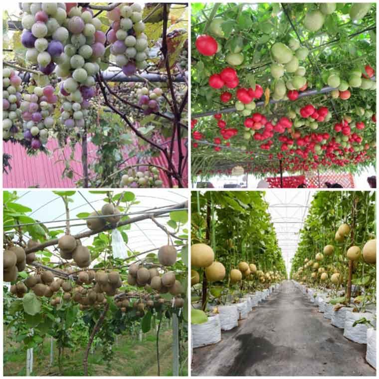 ky thuat trong cay an qua o mien bac 1 - Kỹ thuật trồng cây ăn quả ở miền Bắc