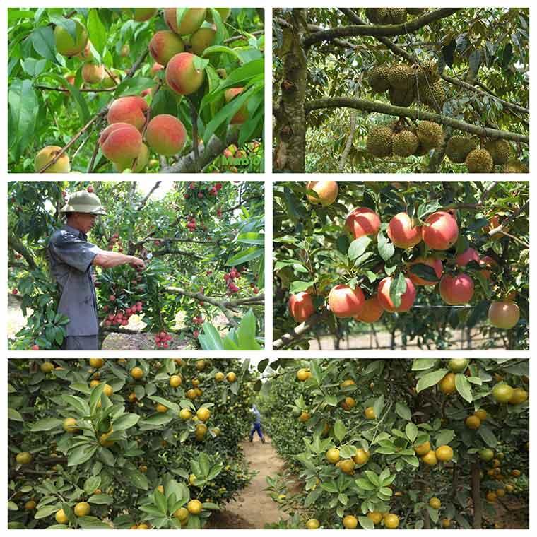 ky thuat trong cay an qua o mien bac 2 - Kỹ thuật trồng cây ăn quả ở miền Bắc