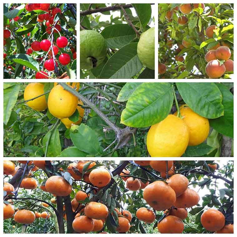 ky thuat trong cay an qua o mien bac 3 - Kỹ thuật trồng cây ăn quả ở miền Bắc