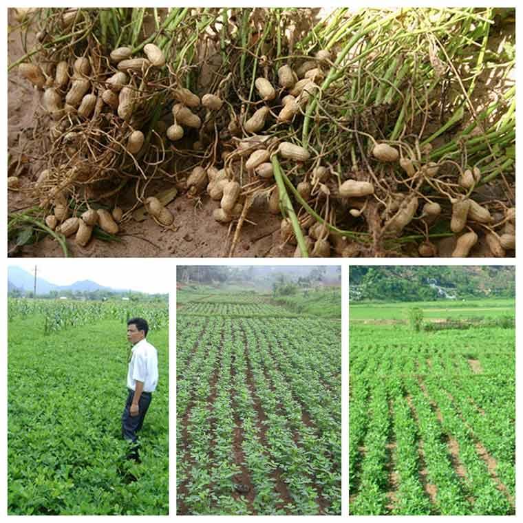 ky thuat trong dau phong nang suat cao 1 - Kỹ thuật trồng đậu phộng năng suất cao
