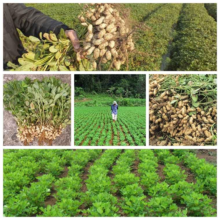 ky thuat trong dau phong nang suat cao 2 - Kỹ thuật trồng đậu phộng năng suất cao