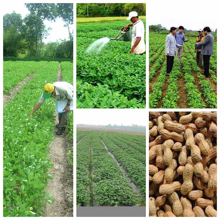 ky thuat trong dau phong nang suat cao 3 - Kỹ thuật trồng đậu phộng năng suất cao