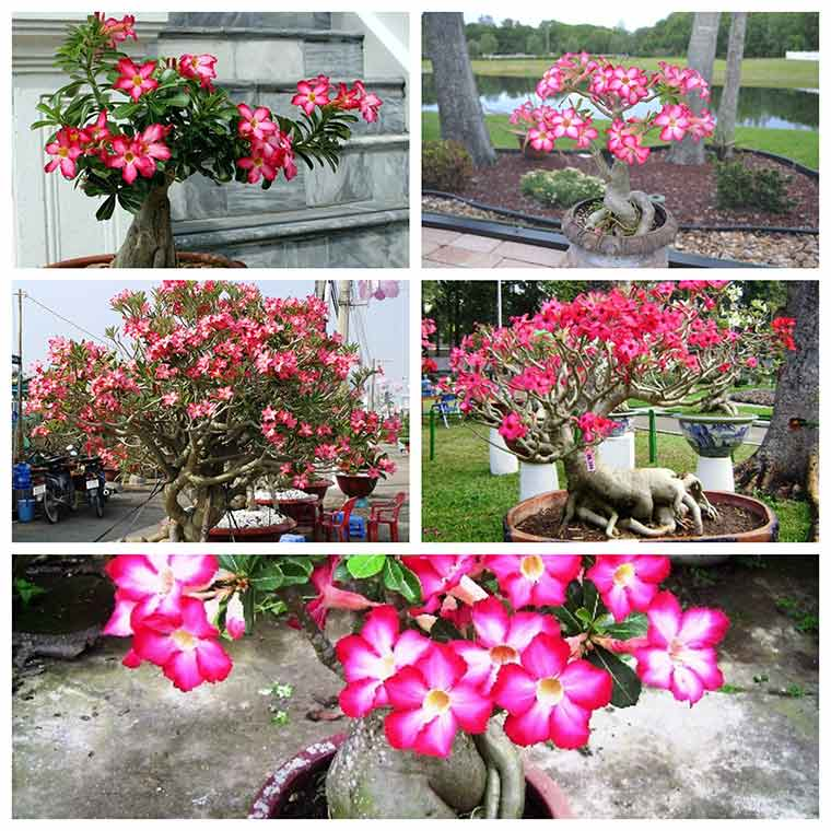 ky thuat trong hoa su dung cach co the ban chua biet 3 - Kỹ thuật trồng hoa sứ đúng cách có thể bạn chưa biết