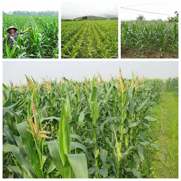 ky thuat trong ngo cho nang suat cao 2 - Kỹ thuật trồng ngô cho năng suất cao
