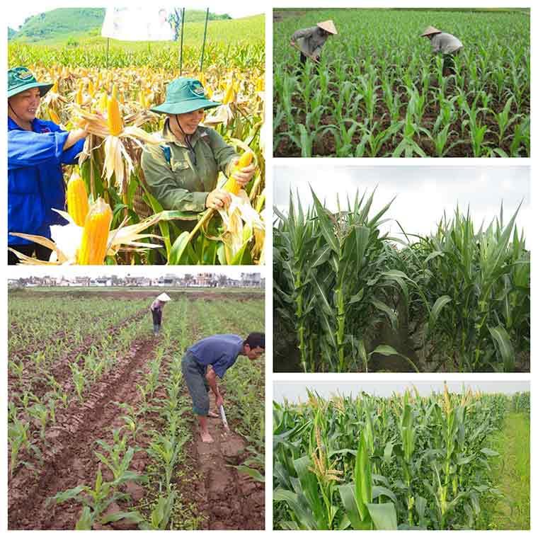 ky thuat trong ngo cho nang suat cao 3 - Kỹ thuật trồng ngô cho năng suất cao