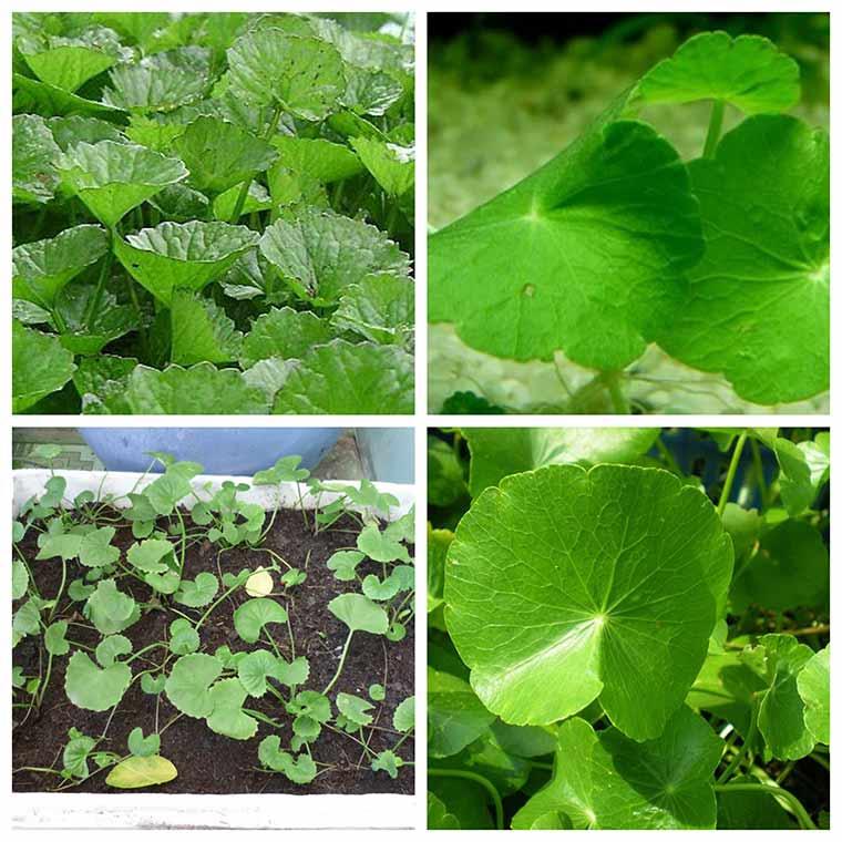 ky thuat trong rau ma xanh tot hieu qua cao 1 - Kỹ thuật trồng rau má xanh tốt hiệu quả cao