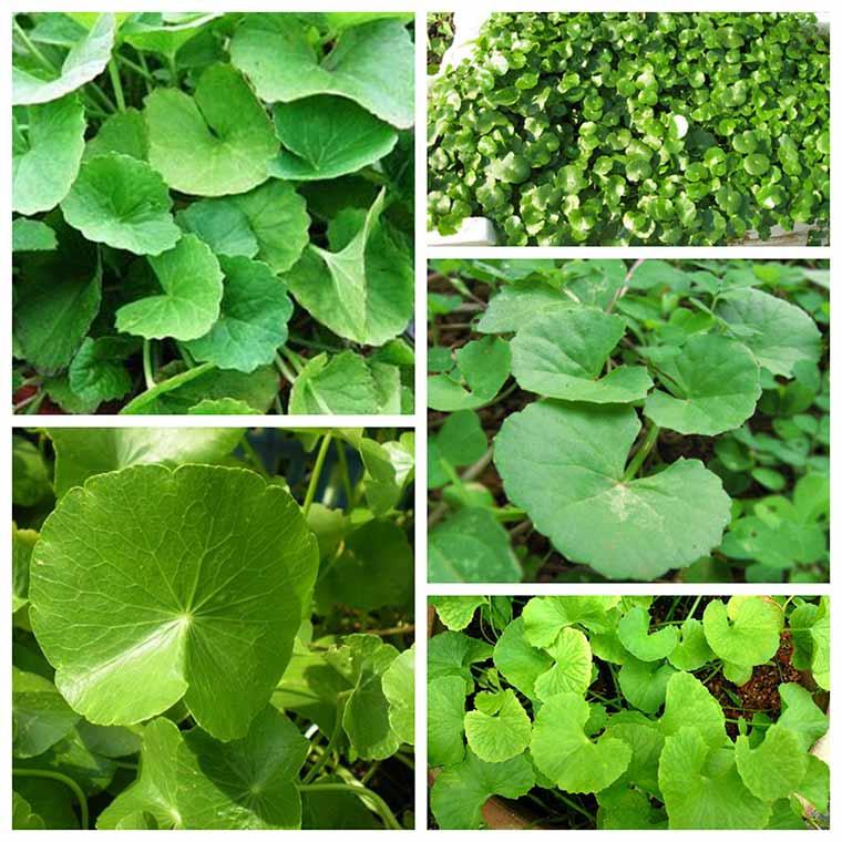 ky thuat trong rau ma xanh tot hieu qua cao 3 - Kỹ thuật trồng rau má xanh tốt hiệu quả cao