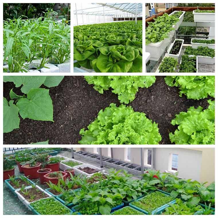 ky thuat trong rau xanh dung cach 1 - Chia sẻ kỹ thuật trồng rau xanh đúng cách nhất hiện nay