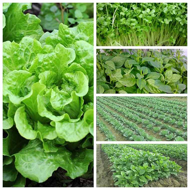 ky thuat trong rau xanh dung cach 2 - Chia sẻ kỹ thuật trồng rau xanh đúng cách nhất hiện nay