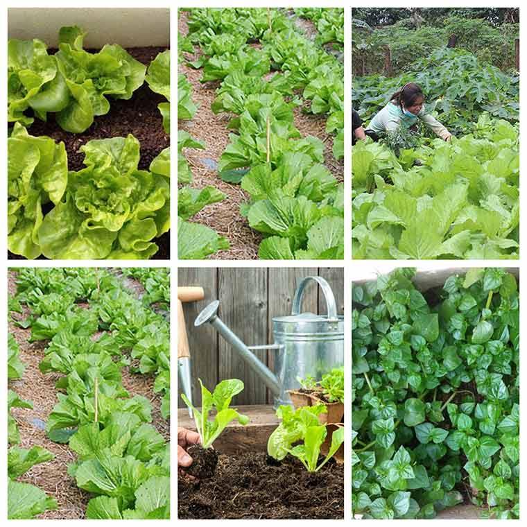 ky thuat trong rau xanh dung cach 3 - Chia sẻ kỹ thuật trồng rau xanh đúng cách nhất hiện nay