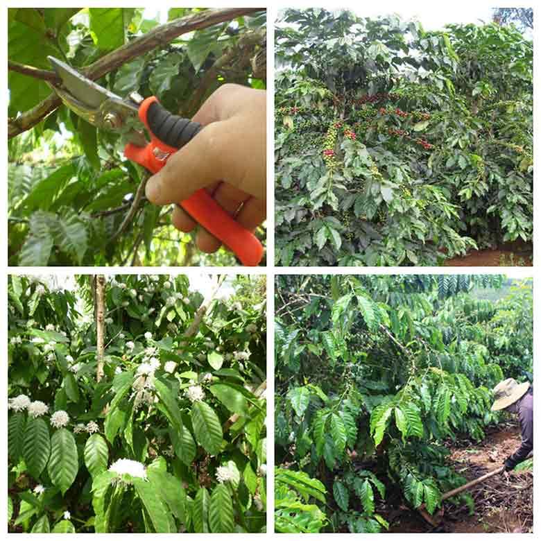 huong dan cach cham soc cay ca phe sau thu hoach chuan nhat 3 - Hướng dẫn cách chăm sóc cây cà phê sau thu hoạch chuẩn nhất