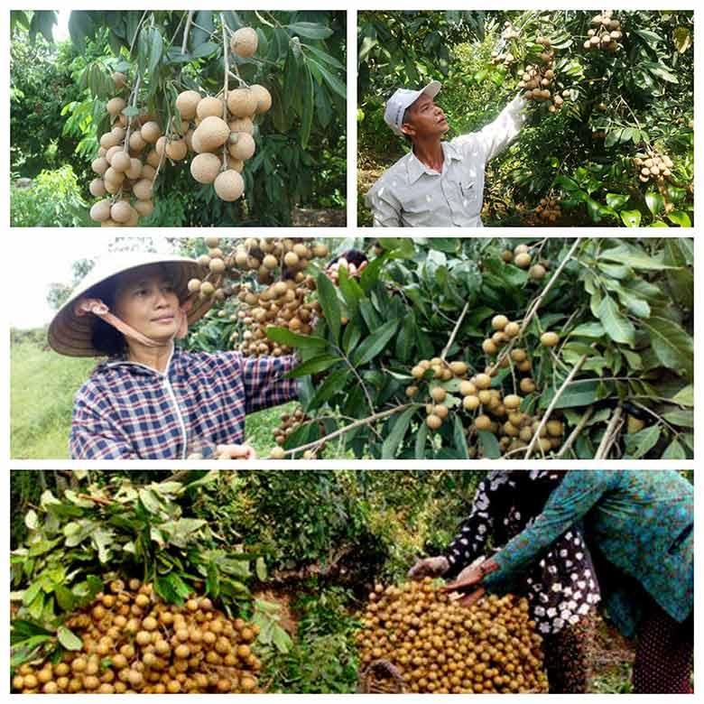 ky thuat trong va cham soc nhan huong chi cho qua triu canh 3 - Kỹ thuật trồng và chăm sóc nhãn hương chi cho quả trĩu cành