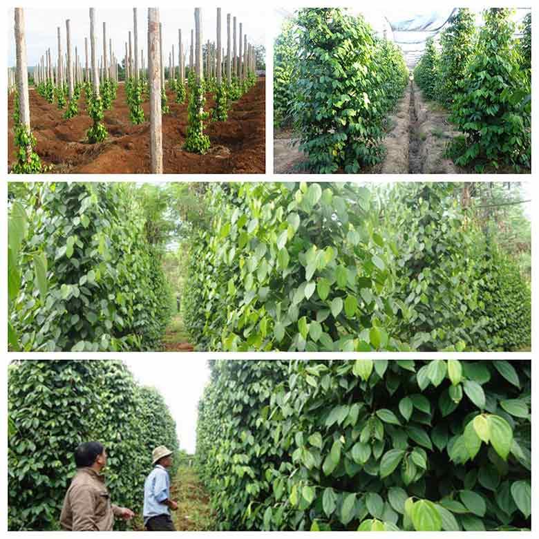 cach trong tieu phu quoc nang suat tang cao gap 3 3 - Cách trồng tiêu Phú Quốc năng suất tăng cao gấp 3