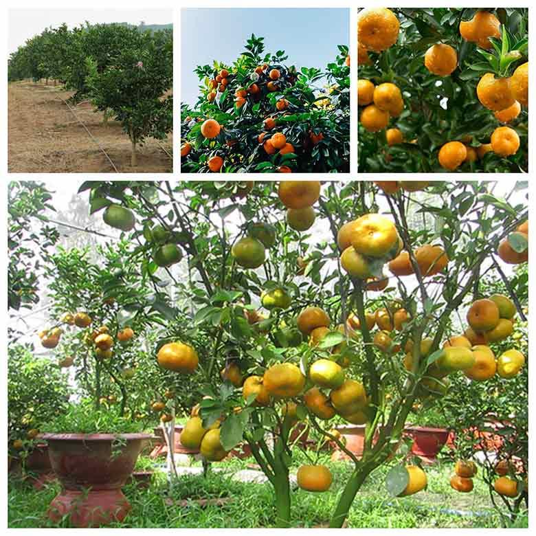 kinh nguyen trong quyt trong chau hieu qua cao 3 - Kinh nghiệm trồng quýt trong chậu hiệu quả cao
