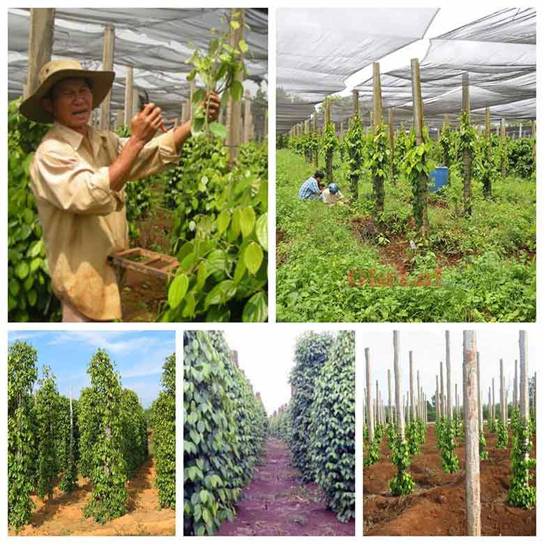ky thuat trong tieu phu quoc san luong cuc cao 3 - Kỹ thuật trồng tiêu Phú Quốc sản lượng cực cao