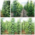 cach trong tieu bang tru song tot nhat co the ban chua biet 3 150x150 - Cách trồng tiêu bằng trụ sống tốt nhất có thể bạn chưa biết
