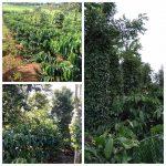 huong dan trong ho tieu xen ca phe chuan va hieu qua kinh te cao 3 150x150 - Hướng dẫn trồng hồ tiêu xen cà phê chuẩn và hiệu quả kinh tế cao