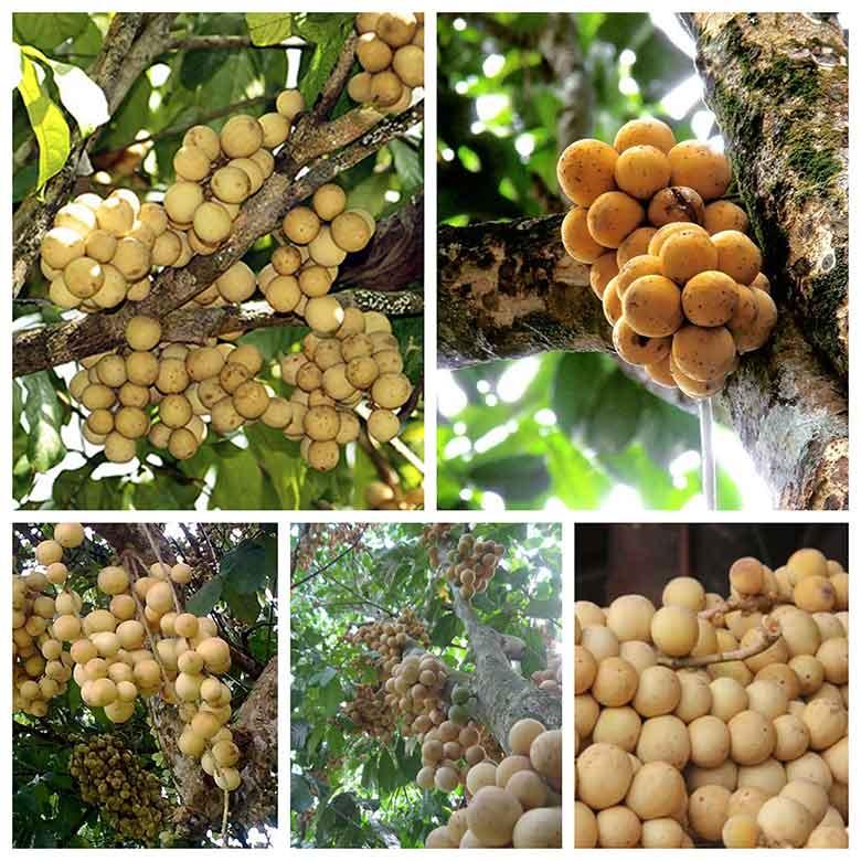 quy trinh trong cay bon bon huong dan cach trong dat nang xuat cao 3 - Quy trình trồng cây bòn bon, hướng dẫn cách trồng đạt năng xuất cao