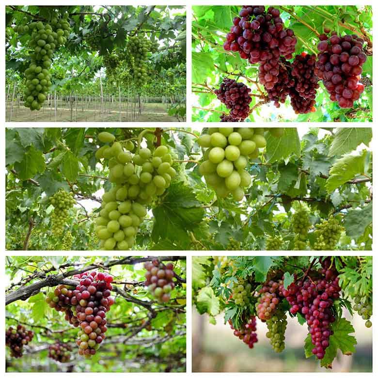 cach trong nho phap lun nen trong nho vao mua nao 3 - Cách trồng nho pháp lùn & Nên trồng nho vào mùa nào?