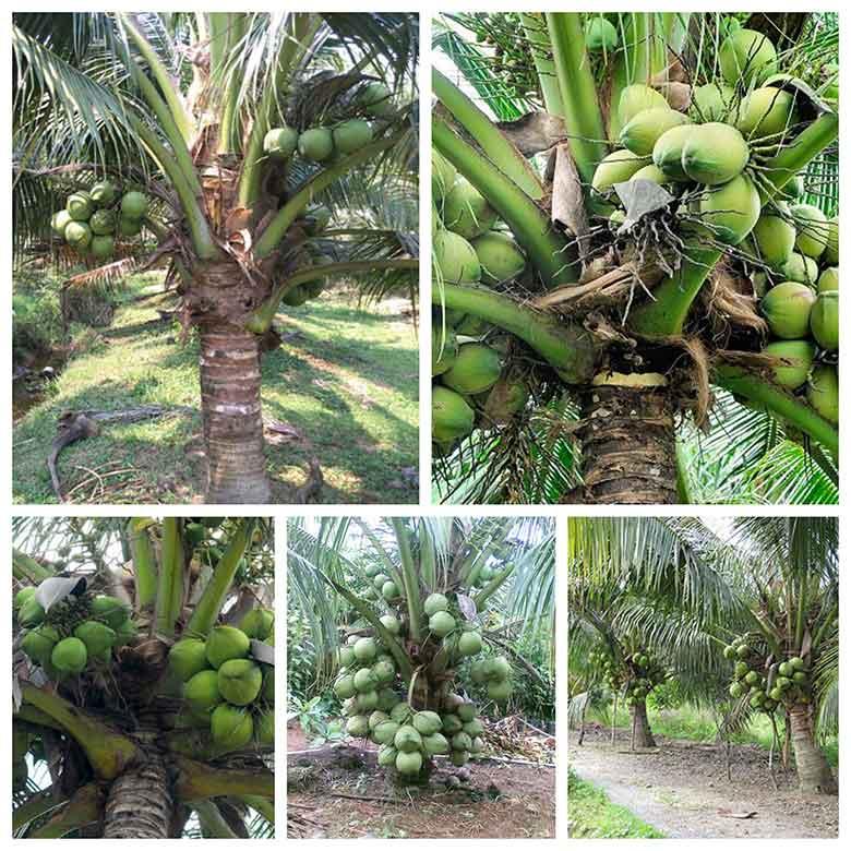huong dan cach trong dua mau ra trai dat nang xuat cao 3 - Hướng dẫn cách trồng dừa mau ra trái đạt năng xuất cao