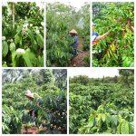 mach ban cach trong ca phe cho nang suat cao 3 150x150 - Mách bạn cách trồng cà phê cho năng suất cao