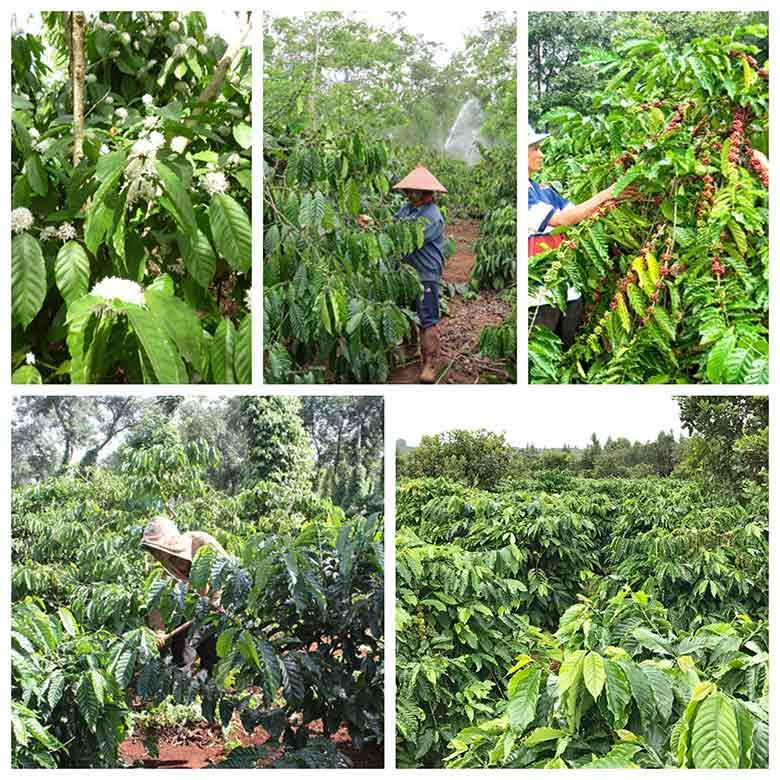 mach ban cach trong ca phe cho nang suat cao 3 - Mách bạn cách trồng cà phê cho năng suất cao