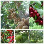 mo hinh trong cay an qua hieu qua nang suat cao 3 150x150 - Mô hình trồng cây ăn quả hiệu quả, năng suất cao