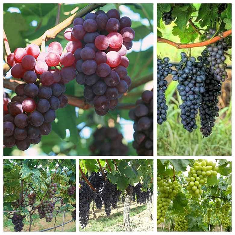 quy trinh trong nho lam ruou vang dung chuan co the ban chua biet 3 - Quy trình trồng nho làm rượu vang đúng chuẩn có thể bạn chưa biết
