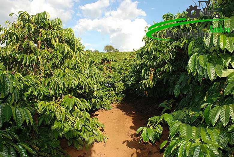 ce38039511d5f88ba1c4 1 - Hướng dẫn kỹ thuật trồng cây cà phê xanh lùn năng suất cao và bền vững