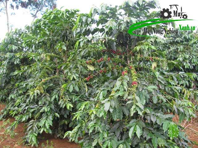 giong cay trong eakmat - Hướng dẫn kỹ thuật trồng cây cà phê xanh lùn năng suất cao và bền vững