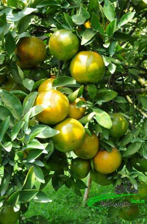huong dan cach trong cay quyt duong nang suat cao it sau benh 1 - Hướng dẫn cách trồng cây quýt đường năng suất cao ít sâu bệnh