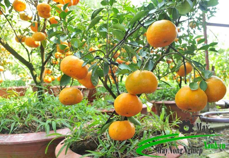 huong dan cach trong cay quyt duong nang suat cao it sau benh 2 - Hướng dẫn cách trồng cây quýt đường năng suất cao ít sâu bệnh