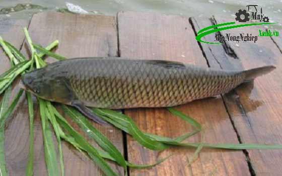 huong dan cach trong co cho ca tram nang suat cao 1 - Hướng dẫn cách trồng cỏ cho cá Trắm năng suất cao