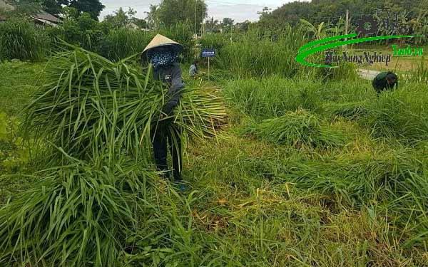 huong dan cach trong co cho ca tram nang suat cao 2 - Hướng dẫn cách trồng cỏ cho cá Trắm năng suất cao