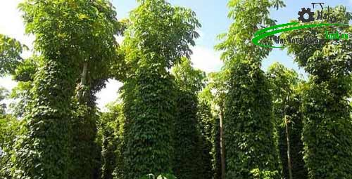 huong dan cach trong tieu ben vung tang cao thu nhap tu a z 3 - Hướng dẫn cách trồng tiêu bền vững tăng cao thu nhập từ A – Z