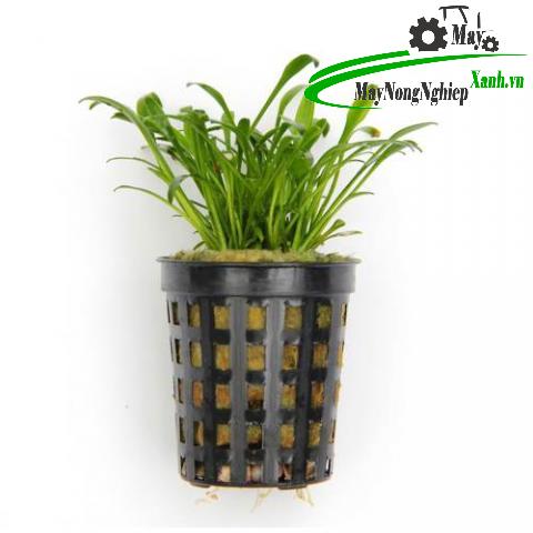 huong dan cach trong tieu thao parva hieu qua 3 - Hướng dẫn cách trồng tiêu thảo parva hiệu quả