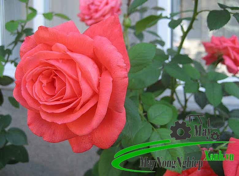 huong dan cong nghe trong hoa hong hien dai hieu qua cao khong phai ai cung biet 1 - Hướng dẫn công nghệ trồng hoa hồng hiện đại hiệu quả cao không phải ai cũng biết