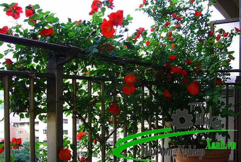 huong dan cong nghe trong hoa hong hien dai hieu qua cao khong phai ai cung biet 2 - Hướng dẫn công nghệ trồng hoa hồng hiện đại hiệu quả cao không phải ai cũng biết