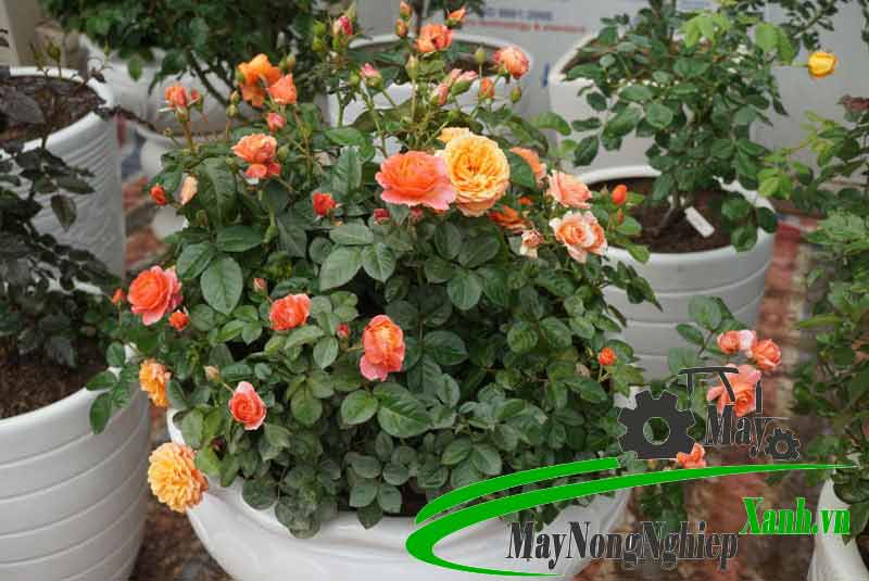 huong dan cong nghe trong hoa hong hien dai hieu qua cao khong phai ai cung biet 3 - Hướng dẫn công nghệ trồng hoa hồng hiện đại hiệu quả cao không phải ai cũng biết