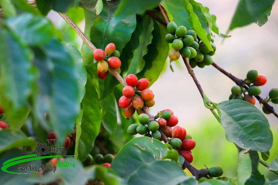 huong dan ky thuat trong ca phe moka thu hoach nang suat cao tu a z 1 - Hướng dẫn kỹ thuật trồng cà phê Moka thu hoạch năng suất cao từ A – Z