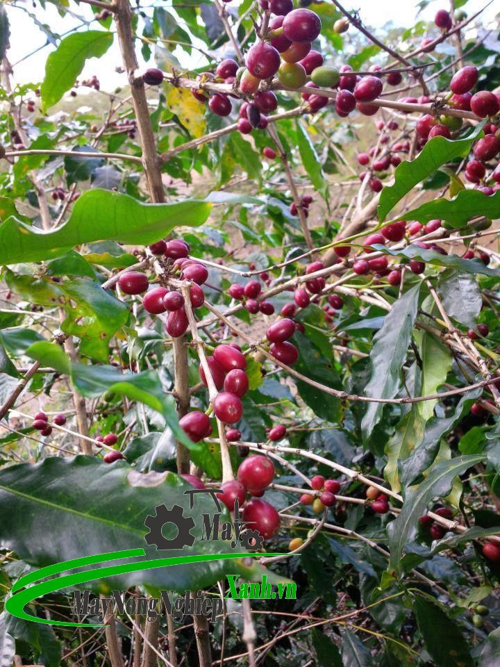 huong dan ky thuat trong ca phe moka thu hoach nang suat cao tu a z 3 - Hướng dẫn kỹ thuật trồng cà phê Moka thu hoạch năng suất cao từ A – Z
