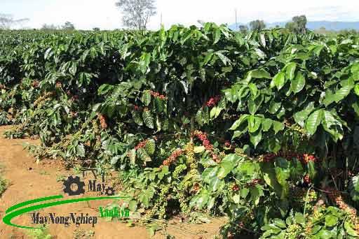 ky thuat trong cay ca phe che 3 - Kỹ thuật trồng cây cà phê chè